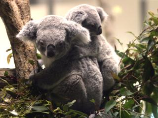 こあら,コアラ,Koala