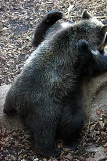 クマ,くま,熊,Bear