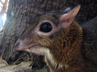 マメジカ,まめじか,mouse deer