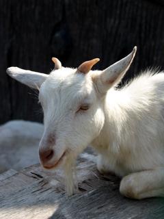 ヤギ,やぎ,山羊,yagi,Goat