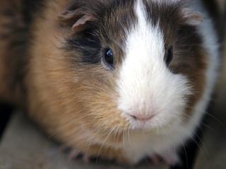 モルモット,もるもっと,テンジクネズミ,天竺鼠,Guinea pig