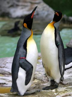 キングペンギン,オウサマペンギン,王様ペンギン,King Penguin,ペンギン,ぺんぎん,Penguin,人鳥,ジンチョウ
