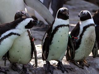 ペンギン,ぺんぎん,Penguin,人鳥,ジンチョウ