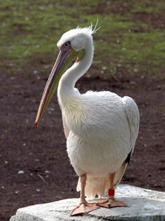ペリカン,ぺりかん,Pelican,伽藍鳥,がらんちょう