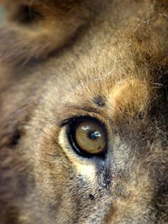 らいおん,Lion,Leo,ライオン,獅子