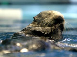 ラッコ,らっこ,猟虎,海猟,Enhydra lutris,Sea otter