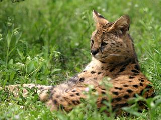 サーバル,サーバルキャット,Serval,Serval cat