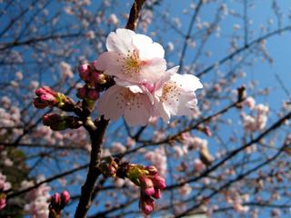 sakura,さくら,桜,櫻,サクラ