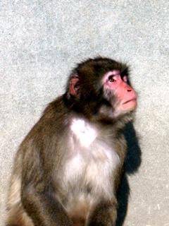 サル,さる,猿,申,猴,Monkey,Ape,モンキー,エイプ,もんきー