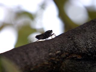セミ,せみ,蝉,Cicada