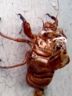 セミ,せみ,蝉,Cicada,空蝉,うつせみ
