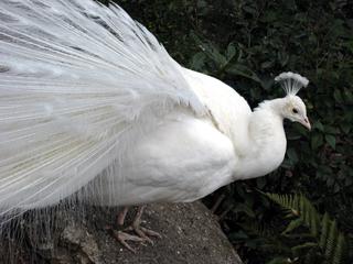 白孔雀,しろくじゃく,シロクジャク,インドクジャク,Pavo cristatus