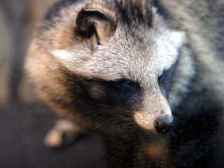 タヌキ,たぬき,狸,Raccoon Dog
