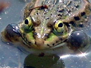 カエル,蛙,かわず,かはづ,Flog