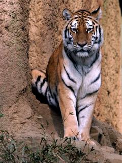 トラ,とら,虎,寅,Tiger,タイガー