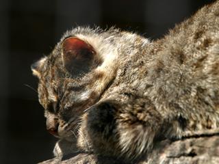 対馬山猫,ツシマヤマネコ,Tsushima Leopard Cat,ベンガルヤマネコ,Prionailurus bengalensis