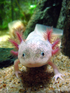 メキシコサラマンダー,メキシコサンショウウオ,ウーパールーパー,Axolotl