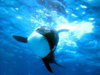 シャチ,サカマタ,オルカ,orca,Killer whale,Orcinus orca,海獣