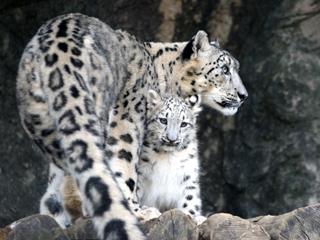 豹,ヒョウ,ひょう,Leopard