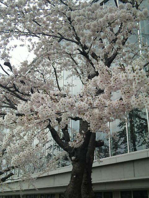 110426-桜