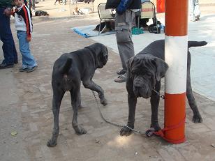dog show4