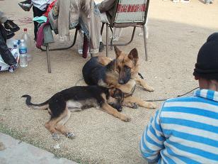 dog show6