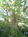 大きないちょうの木