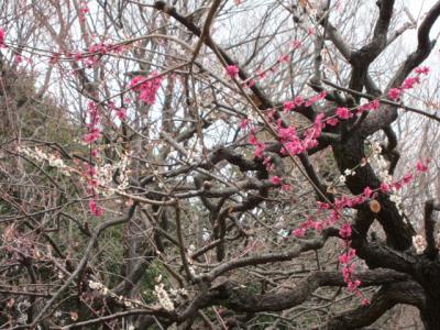 梅の花吹雪き