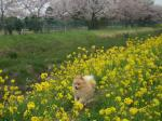 菜の花の中で走る