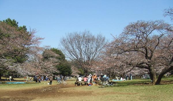 光が丘公園(桜)