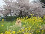 桜と菜の花3