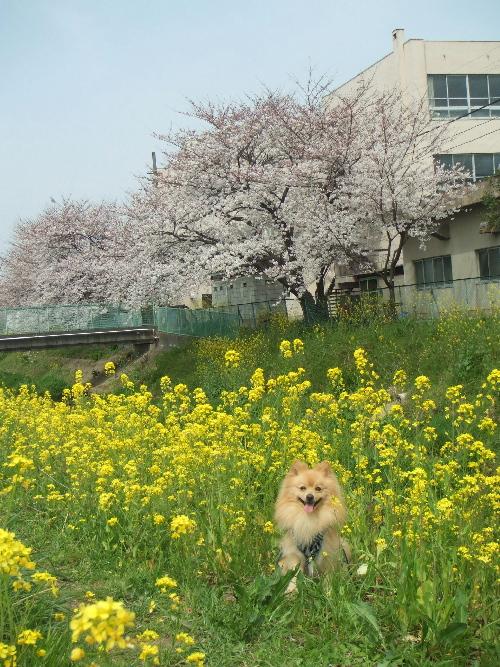 菜の花と桜と一緒に