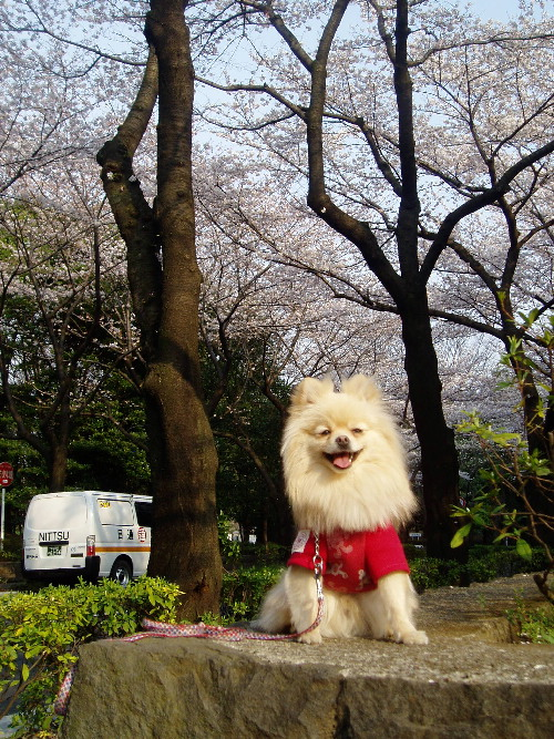 みかん君と桜・・・