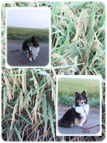 201108稲刈り前1