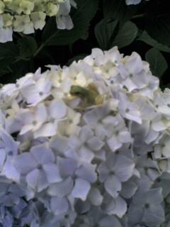 カエルと紫陽花