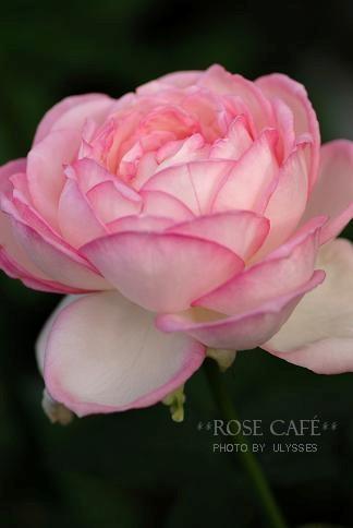 Rose Optimist
