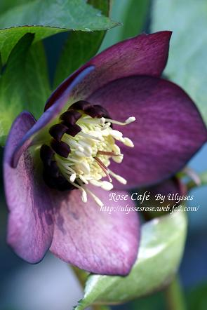 Christmas Rose( dark nectary  1)