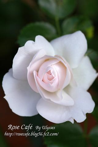 Aspirin Rose(Gr)