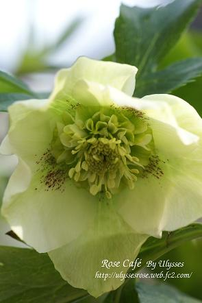Christmas Rose ( SD ;green )