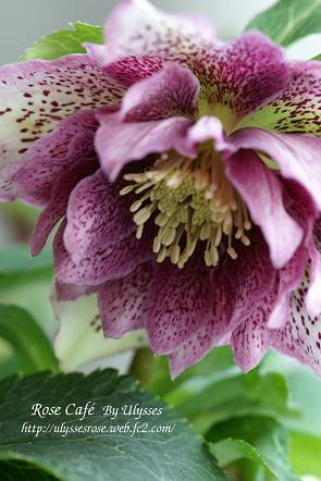 Christmas Rose (D ;Purple Spot) 3