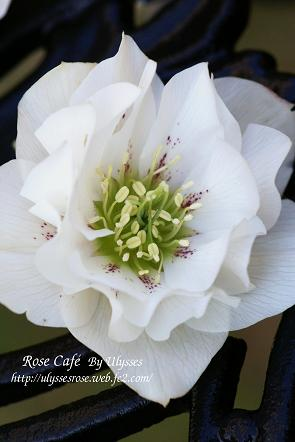 Christmas Rose ( D ;white spot )