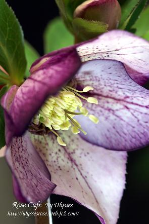 Christmas Rose (Picotee Purple)