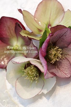 Christmas Rose (Picotee & Dark nectary)