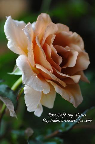 Julia's Rose 1