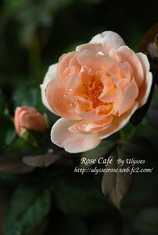 Ambridge Rose 2