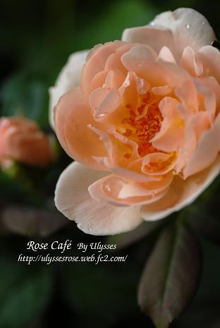 Ambridge Rose 3