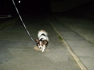 アトム散歩中