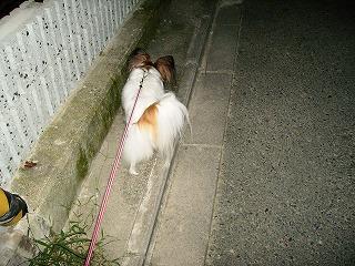 サクラ散歩中