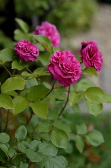 blackberrynip2011517a.jpg