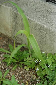 corn2011516-2.jpg
